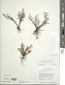 view Lellingeria subsessilis (Baker) A.R. Sm. & R.C. Moran digital asset number 1