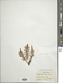 view Pleopeltis rosei (Maxon) digital asset number 1