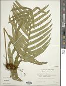 view Serpocaulon attenuatum (C. Presl) A.R. Sm. digital asset number 1