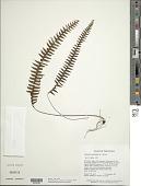 view Terpsichore asplenifolia (L.) A.R. Sm. digital asset number 1
