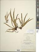 view Oreogrammitis baldwinii (Baker) Parris digital asset number 1