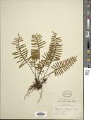 view Pleopeltis madrense (J. Sm.) digital asset number 1