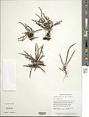 view Cochlidium tepuiense (A.C. Sm.) L.E. Bishop digital asset number 1