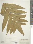 view Aglaomorpha coronans (Wall. ex Mett.) Copel. digital asset number 1