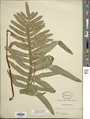 view Phlebodium araneosum (M. Martens) Mickel & Beitel digital asset number 1