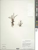 view Cochlidium furcatum (Hook. & Grev.) C. Chr. digital asset number 1