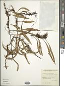 view Pleopeltis macrocarpa (Bory ex Willd.) Kaulf. digital asset number 1