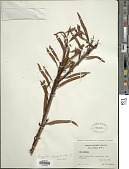 view Microgramma lycopodioides (L.) Copel. digital asset number 1