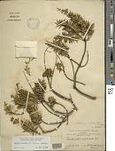 view Dubautia ciliolata (DC.) D.D. Keck subsp. ciliolata digital asset number 1