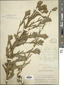 view Madia sativa subsp. capitata (Nutt.) Piper digital asset number 1
