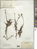 view Dubautia scabra (DC.) D.D. Keck subsp. scabra digital asset number 1