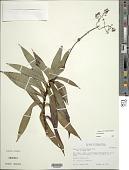 view Dubautia raillardioides Hillebr. digital asset number 1