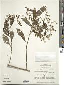 view Vernonanthura yurimaguasensis (Hieron.) H. Rob. digital asset number 1