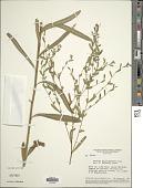 view Lessingianthus hoveaefolius (Gardner) H. Rob. digital asset number 1