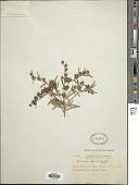 view Lessingianthus plantaginodes (Kuntze) H. Rob. digital asset number 1