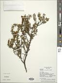 view Chuquiraga spinosa subsp. rotundifolia (Wedd.) C. Ezcurra digital asset number 1