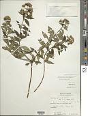 view Lepidaploa pluvialis (Gleason) H. Rob. digital asset number 1