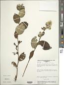 view Moquinastrum blanchetianum (DC.) G. Sancho digital asset number 1