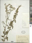 view Cyanthillium cinereum (L.) H. Rob. digital asset number 1