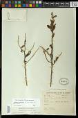 view Krameria tomentosa A. St.-Hil. digital asset number 1