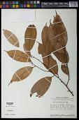 view Ocotea aciphylla (Nees) Mez digital asset number 1
