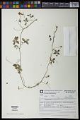 view Tropaeolum pentaphyllum Lam. digital asset number 1