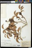 view Sacoglottis mattogrossensis var. subintegra (Ducke) Cuatrec. digital asset number 1