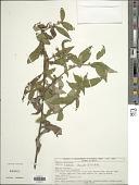 view Lepidaploa cotoneaster (Willd. ex Spreng.) H. Rob. digital asset number 1