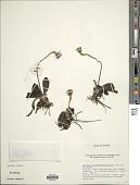 view Piloselloides hirsuta (Forssk.) C. Jeffrey digital asset number 1
