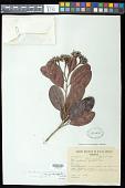 view Vantanea parviflora Lam. var. parviflora digital asset number 1