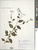 view Iodocephalus eberhardtii (Gagnep.) Bunwong & H. Rob. digital asset number 1