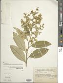 view Moquiniastrum floribundum (Cabrera) G. Sancho digital asset number 1