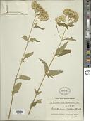 view Austroeupatorium inulaefolium (Kunth) R.M. King & H. Rob. digital asset number 1