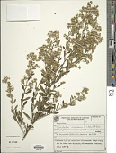 view Stomatanthes corumbensis (B.L. Rob.) H. Rob. digital asset number 1