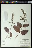 view Exellodendron cordatum (Hook. f.) Prance digital asset number 1
