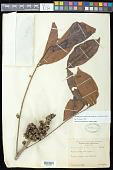 view Zanthoxylum compactum (Huber ex Albuq.) P.G. Waterman digital asset number 1