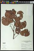 view Pseudoconnarus macrophyllus (Poepp.) Radlk. digital asset number 1