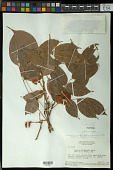 view Connarus erianthus Elmer digital asset number 1