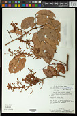 view Rourea induta var. reticulata (Planch.) Baker digital asset number 1