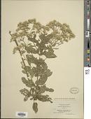 view Eupatorium cuneifolium var. semiserratum digital asset number 1