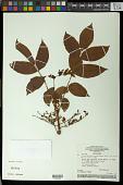 view Crepidospermum goudotianum (Tul.) Triana & Planch. digital asset number 1