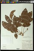 view Crepidospermum rhoifolium (Benth.) Triana & Planch. digital asset number 1