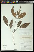 view Protium aracouchini (Aubl.) Marchand digital asset number 1