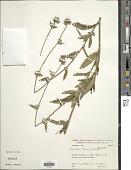 view Elephantopus biflorus (Less.) Sch. Bip. digital asset number 1