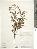 view Neomirandea eximia (B.L. Rob.) R.M. King & H. Rob. digital asset number 1