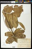 view Pilocarpus spicatus subsp. lealii (Machado) Kaastra digital asset number 1