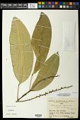 view Conchocarpus diadematus Pirani digital asset number 1