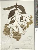 view Critonia portoricensis (Urb.) Britton & P. Wilson digital asset number 1