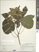 view Hebeclinium macrophyllum (L.) DC. digital asset number 1