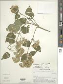 view Mikania cordifolia H.B.K. digital asset number 1